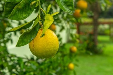 לגדל עץ לימון בבית