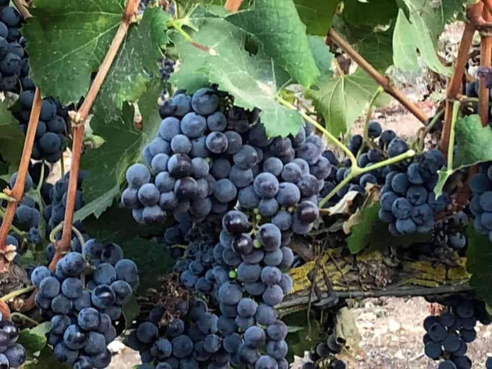 ענבים סגולים ליין