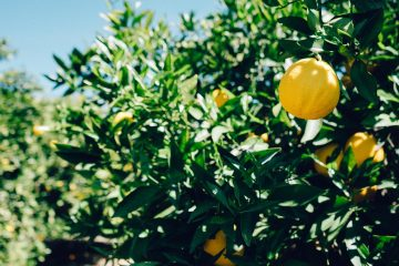 lemons-on-tree-6478