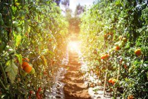 גידול עגבניות - איזה דשן מתאים לעגבניות?