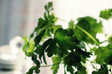 לגדל פטרוזיליה בבית