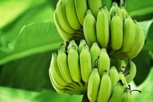 מטע בננות