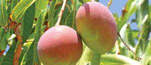 זוג פירות מנגו