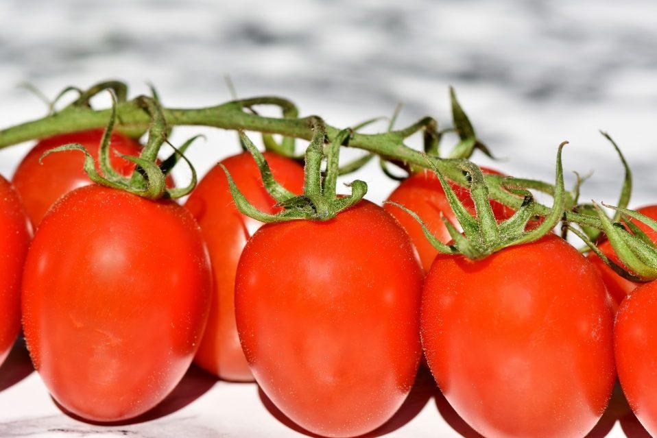 עגבניות תעשייה עסיסיות ואדומות