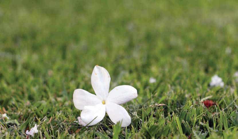 דשא חזק עם פרח יסמין